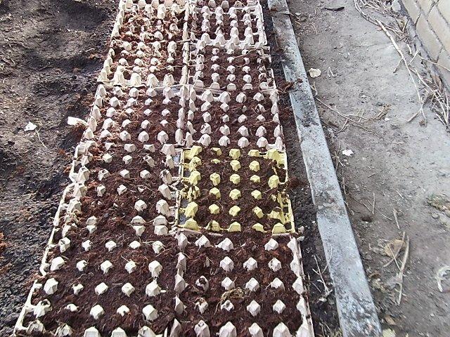 Ячейки из-под яиц на грядке