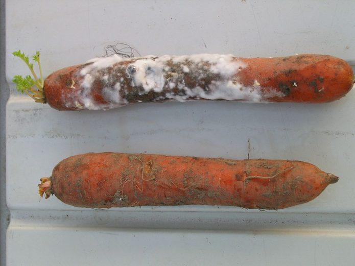 Белая гниль на моркови
