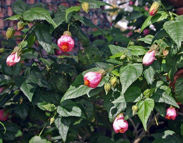 Абутилон — многолетнее растение семейства Мальвовые