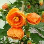 Сорт Apfelsin