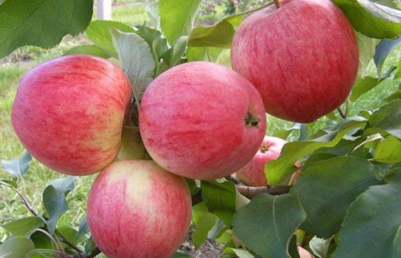 Яблоки сорта Пепин шафранный