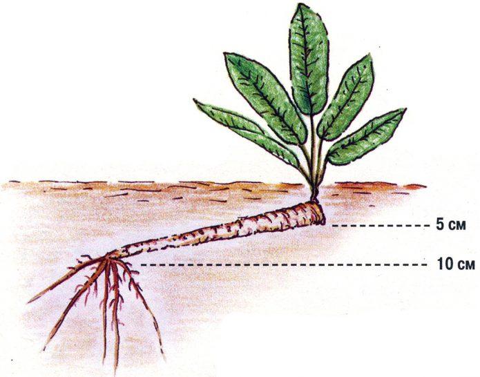 Рост корня хрена под землёй