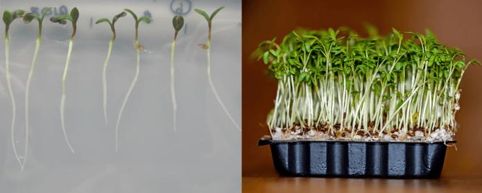 Ростки кресс-салата и урожай в плошке