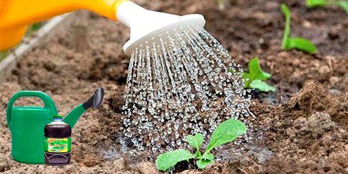 Полив ростка капусты