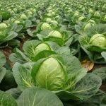 Выращивание капусты Колобок