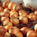 Луковицы сорта Жар-птица