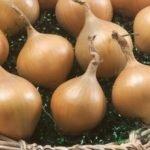 Луковицы сорта Княжич