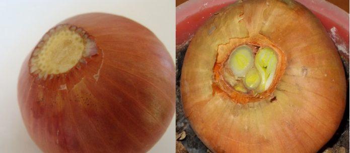 Обрезка донца и сухой шейки луковицы