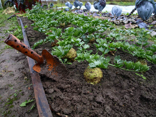 Сбор урожая сельдерея