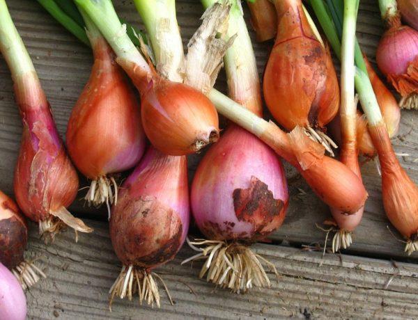 Шалот — семейный лук на вашем огороде