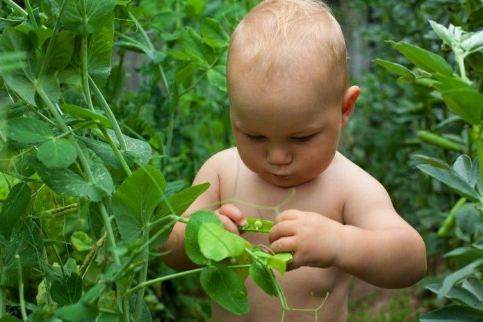 Ребёнок рассматривает растение гороха