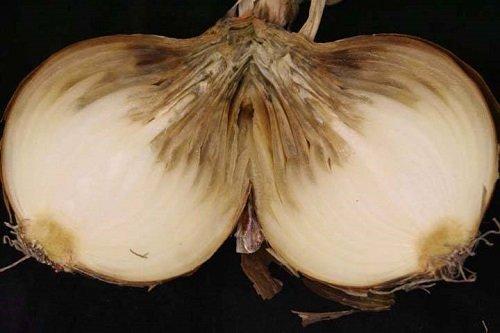 Шейковая гниль на луковице
