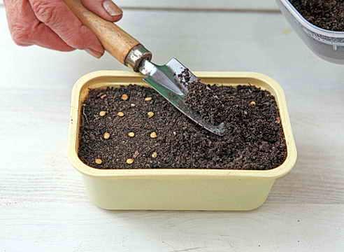 Высадка семян баклажана на рассаду