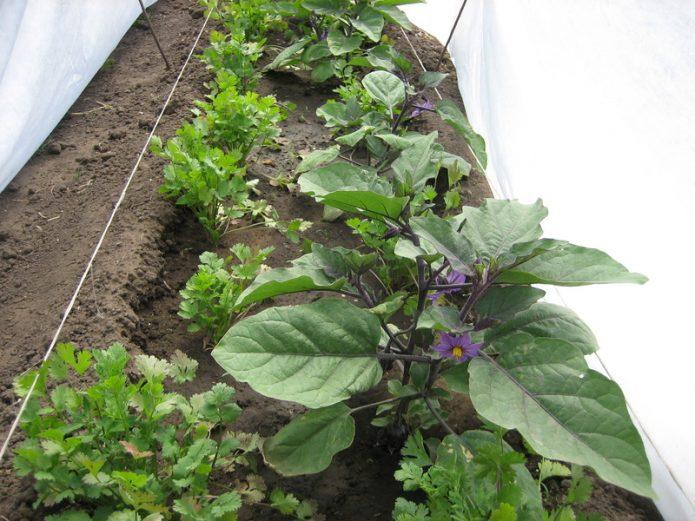 Выращивание баклажанов под укрывным материалом