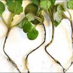 Растения редиса, больные чёрной ножкой