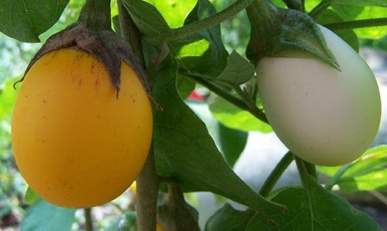 Баклажан Золотое яйцо