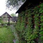 Выращивание фасоли около стены строения