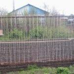 Фасоль стручковая выращивание