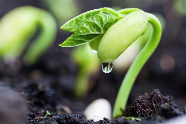 Спаржевая фасоль кустовая посадка и уход в открытом грунте