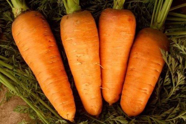 Морковь сорта Шантенэ 2461