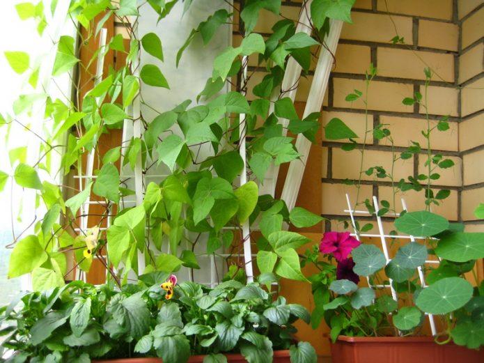 Декоративная фасоль на балконе