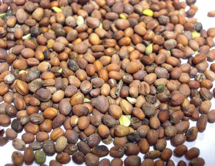 Семена редьки