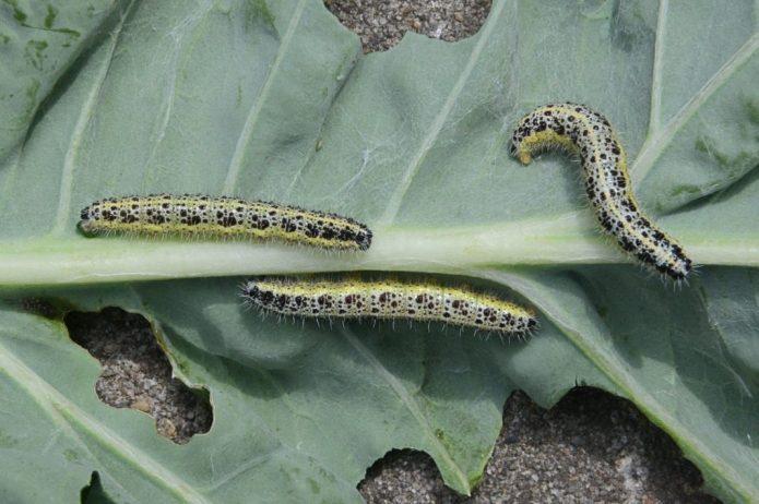 Гусеница капустница
