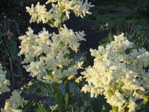 Цветы ревеня