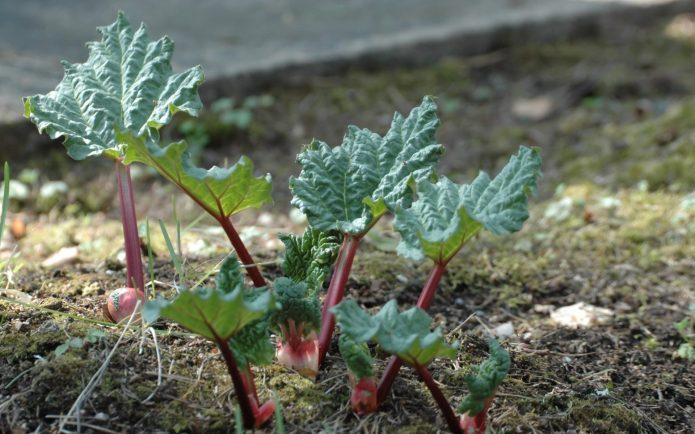 Ревень, высаженный семенами в открытый грунт