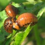 Колорадский жук на листьях