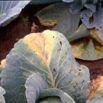 Бактериоз на листьях капусты