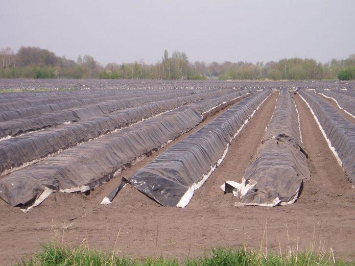 Выращивание отбеленной спаржи