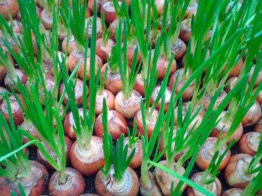Лук-севок на зелень