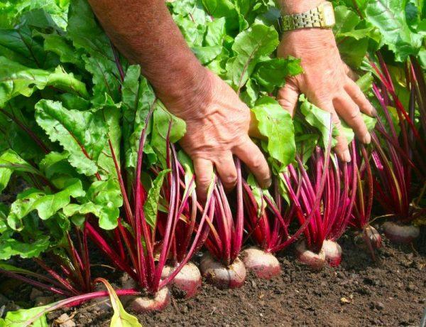 Как вырастить свёклу на своём огороде
