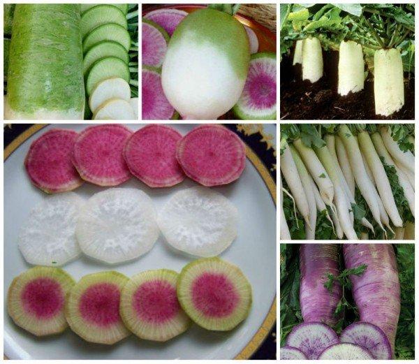 Разнообразные корнеплоды дайкона