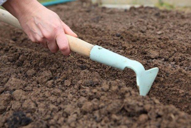 Посев брюквы в открытый грунт