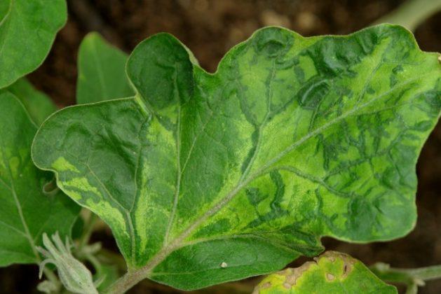 Табачная мозаика на листьях баклажана