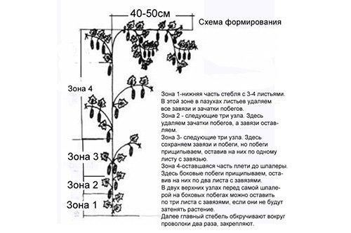 Схема формирования куста баклажана в один стебель