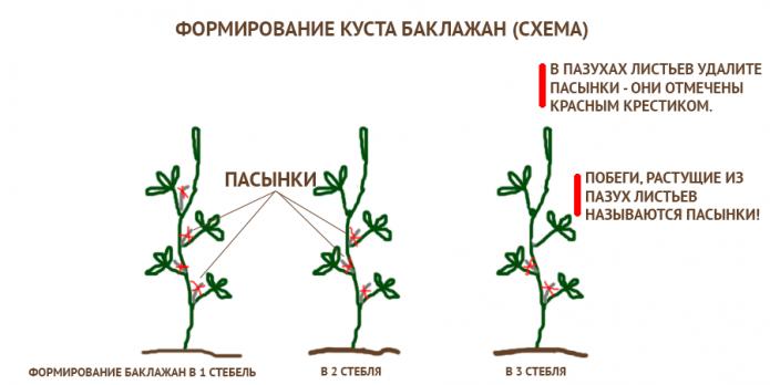 Схема формирования куста баклажана