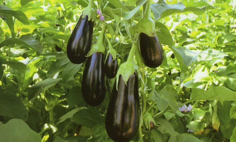 Баклажан эпик описание и характеристика сорта урожайность с фото