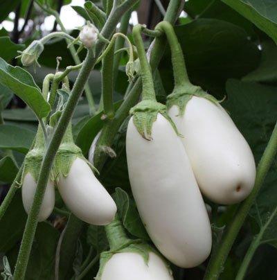 Плоды белых баклажанов на кусте