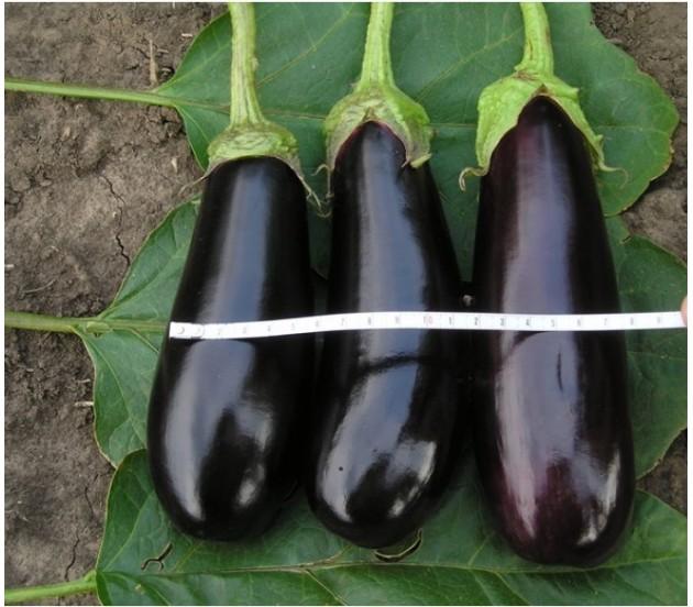Измерение плода баклажана