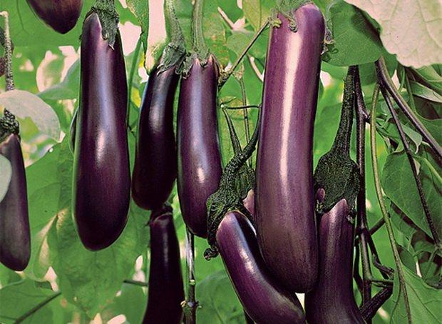 плоды баклажана сорта Чёрный принц