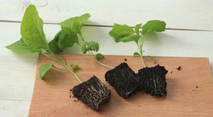Рассада баклажана с корнями