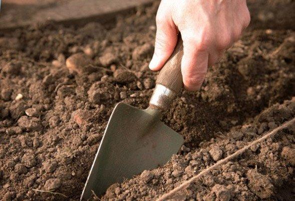 Посев семян баклажана в грунт