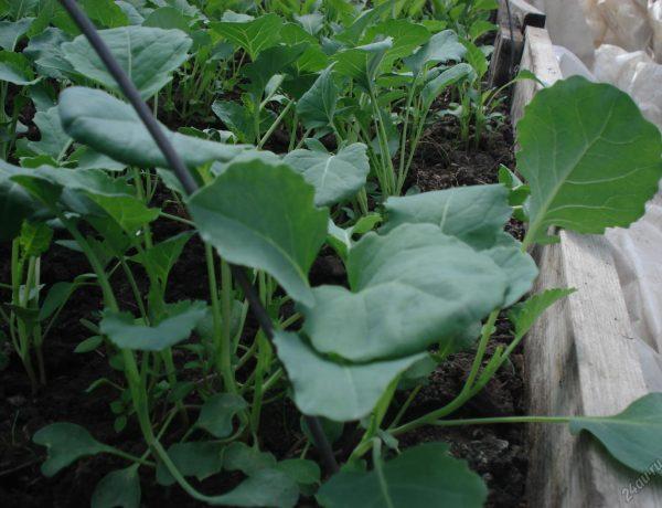 Выращивание рассады брокколи: в чём могут быть трудности и как их преодолеть