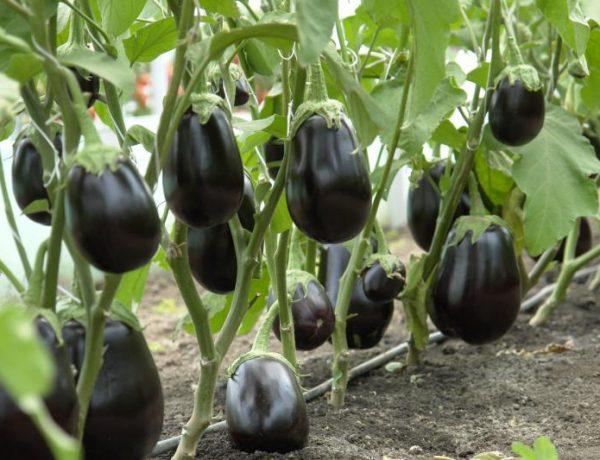 Баклажаны: основные правила выращивания и высадки рассады в открытый грунт