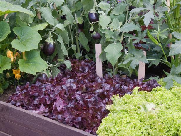Смешанные посадки овощей в теплице: баклажаны и салат