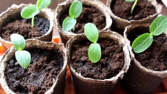 Торфяные горшочки с рассадой