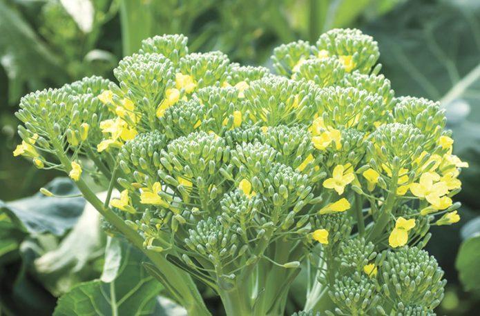 Начало цветения брокколи